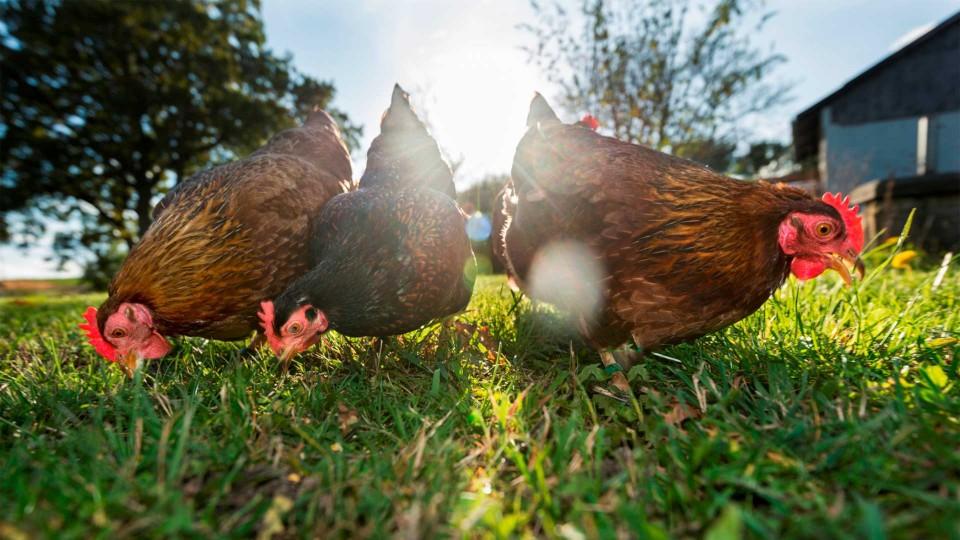 Koop een kip